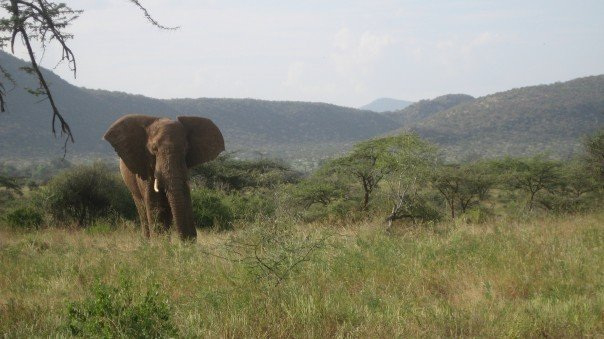 African elephant (c) James Grecian 2007