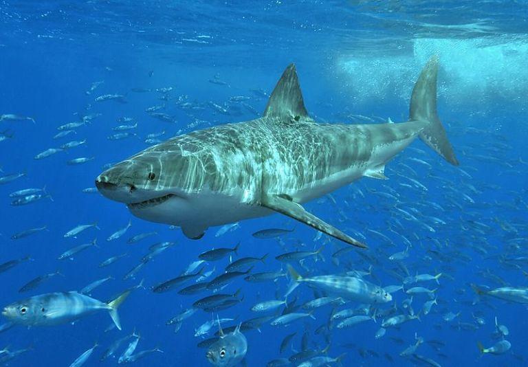 800px-White_shark