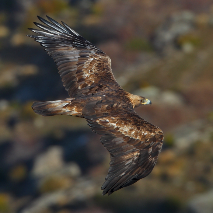 Golden eagle by Juan Lacruz [CC BY-SA 3.0], via Wikimedia Commons
