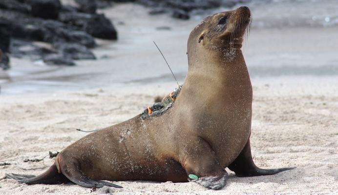 Galapagos sea lion - credit Jana Jeglinski