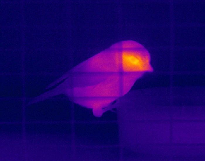 Blue Tit Thermal Image 01