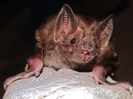 Common vampire bats were one of the species featured in the review. These bats have undergone population growth and range expansions in response to increasing livestock production. It is the primary source of human and livestock rabies infections in Latin America.