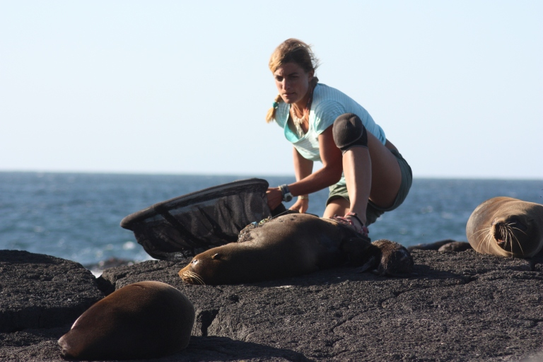 Sneak and run: Dr Jana Jeglinski recaptures a female Galapagos fur seal she equipped with a GPS TDR (time depth recorder) about a month earlier. The loggers and with them all the valuable data they collected will be lost if the capture goes wrong and the animal escapes, which probably explains Jeglinski's facial expression.