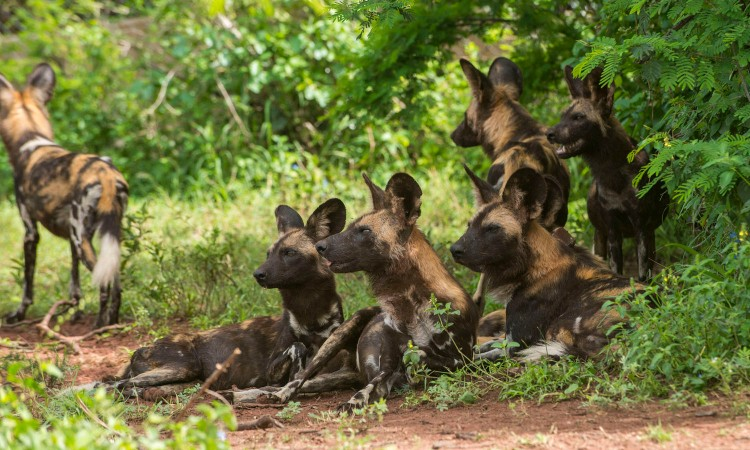 African wild dogs at rest