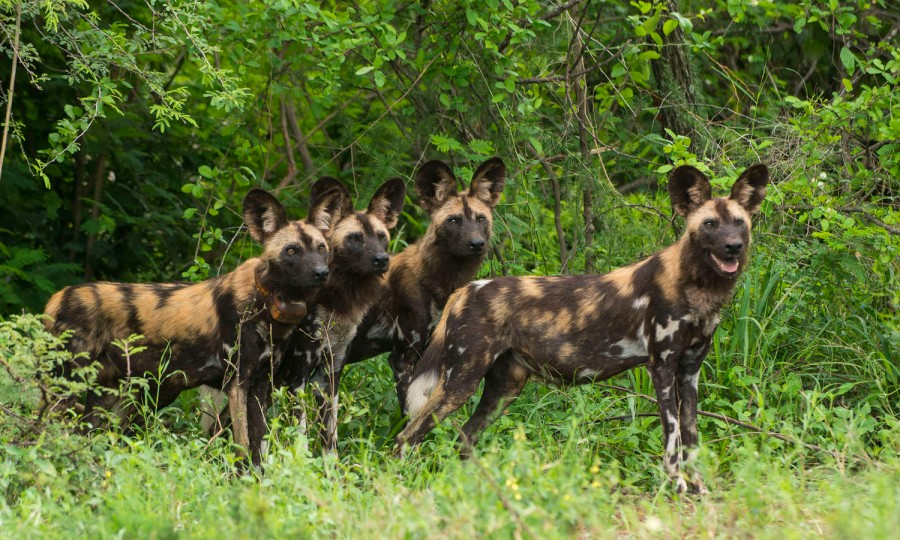 African wild dogs (one pack member with a tracking collar)
