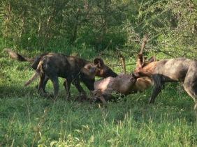 Wild dogs hunt © Eblate Ernest