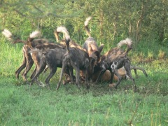 Wild dogs hunt © Eblate Ernest
