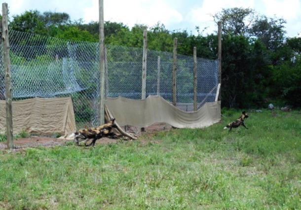 Wild dogs released © Eblate Ernest