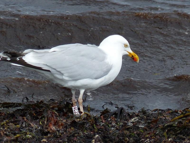 Using herring gulls to monitor the health of coastal marine ecosystems (4/4)