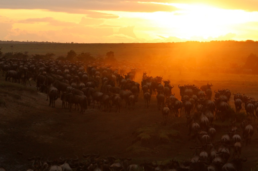 Wildebeest crossing the Mara at daybreak