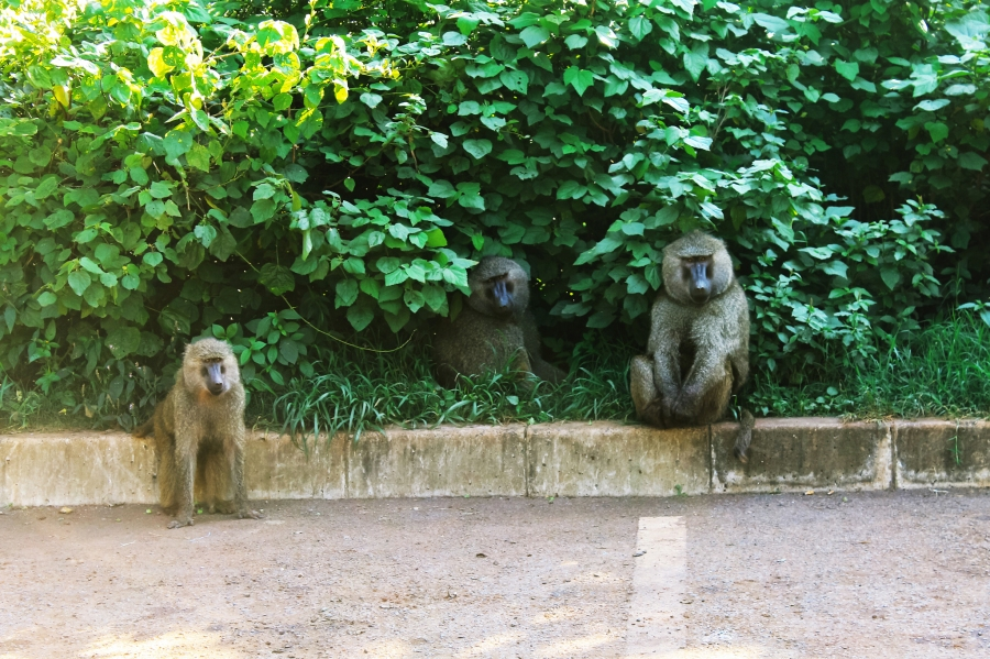 Guilty baboons