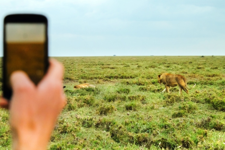 Capturing lions with the Serengeti Animal Tracker.