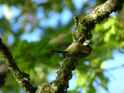 The blue tit is a big study system at SCENE