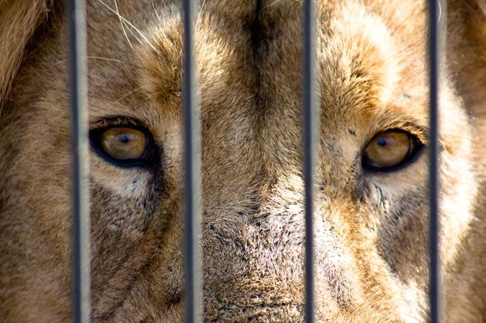 Captive African Lion. Lassi Kurkijärvi [CC BY-NC 2.0], via Flickr.