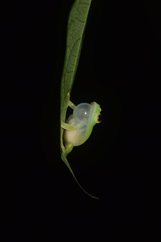 Glassfrog male, taken in Tobago. ©Anna Andrusaite