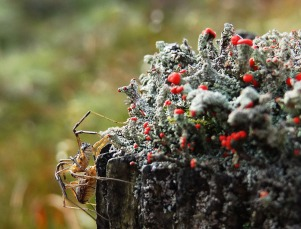 Spider on a lichen-covered fence post in the Campsies. ©Mandy Glass