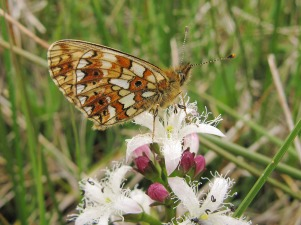 Small Pearl-Bordered Fritillary on Bogbean in Milngavie. ©Sarah Longrigg