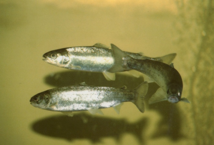 Salmon enter the smolt stage as they begin their journey to sea. Image from US Fish and Wildlife Service. Public domain, via Wikimedia Commons.