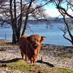 Highland coo on the beach. ©Eleanor Dickinson