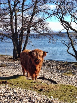 Highland coo on the beach. ©Eleanor Dickinson