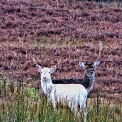 A white stag. ©Eleanor Dickinson