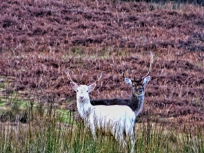 A white stag. ©Eleanor Dickinson