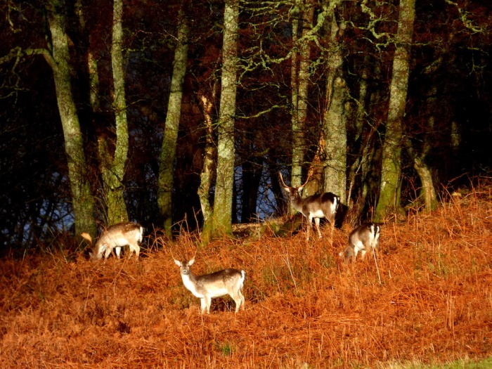 Fallow deer on Inchfad island. ©Eleanor Dickinson