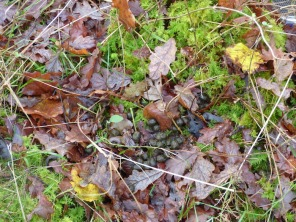 How do you count deer? Look for their dung! ©Eleanor Dickinson