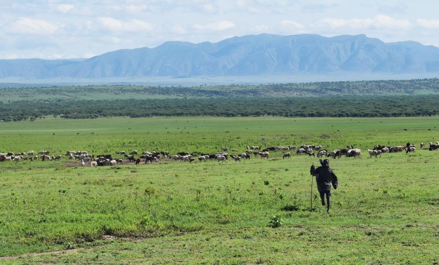 Maasai boy herding goats and sheep near Olbalbal, Ngorongoro Conservation Area, Tanzania. Photo courtesy of Tiziana Lembo.