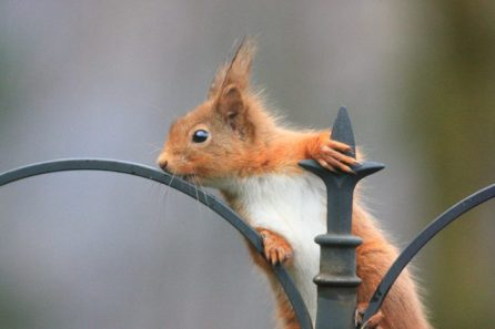 Red squirrels are a rare sight in many areas. © Angus Lothian