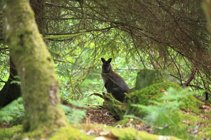 A reclusive wallaby from Inchconnachan on Loch Lomond. Angus Lothian