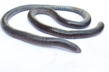 Oscaecilia ochrocephala. Brian Gratwicke [CC BY 2.0], via Flickr.