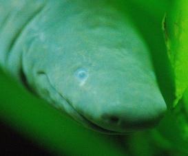 Aquatic Caecilian (Typhlonectes natans). Josh More [CC BY-NC-ND 2.0], via Flickr.