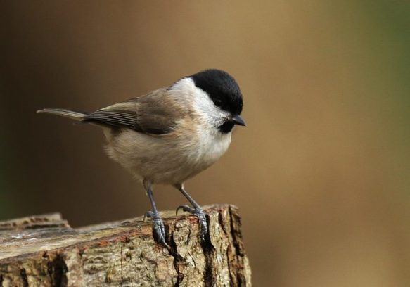 The marsh tit: Jan-Ake's favorite character. Tony Sutton [CC BY-NC-ND 2.0], via Flickr.