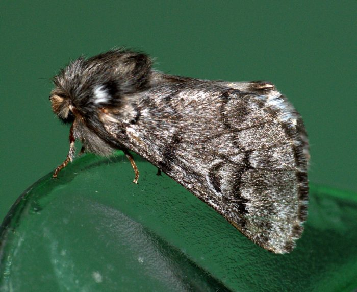 The pine processionary moth studied by Jan-Ake. Ben Sale [CC BY 2.0], via Flickr.