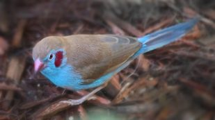 The colourful red-cheeked cordon-bleu is native to Sub-Saharan Africa. Corn Farmer [CC BY-ND 2.0], via Flickr.