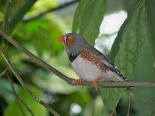 Zebra finches are a common for aviary-based research. Kilayla Pilon [CC BY 2.0], via Flickr.