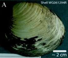 Ming, the ocean quahog clam that lived to 507. Image by AD Wanamaker Jr et al. (CC BY 3.0), via Wikimedia Commons.