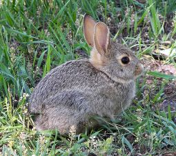 A rabbit. Image by Larry D. Moore (CC BY-SA 3.0), via Wikimedia Commons.