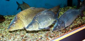 Common carp. Image by Karelj (Public Domain), via Wikimedia Commons.