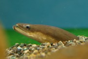 A Japanese eel. Image by opencage (CC BY-SA 2.5), via Wikimedia Commons.