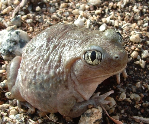 A western spadefoot toad. Image by Takwish (CC BY-SA 2.5), via Wikimedia Commons.