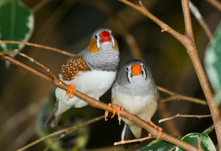 Zebra finches. Image by Keith Gerstung (CC BY 2.0), via Wikimedia Commons.