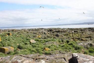 Even though the Lady Isle colony is located on an islet, the birds foraged heavily from terrestrial sites on the nearby mainland. Photo by Nina O'Hanlon.