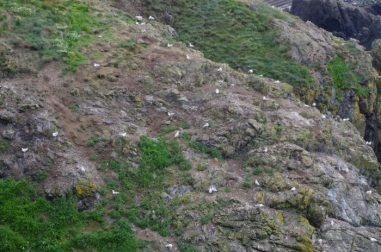 The Portpatrick colony relied heavily on terrestrial human-altered sites, having the highest percentage of terrestrial items in pellets taken from here. Photo by Karen Hotopp.