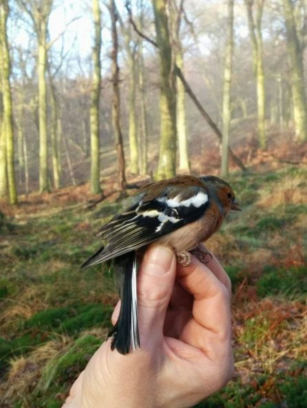 A chaffinch (Fringilla coelebs) ringed during a trip into the woodlands of SCENE in winter 2016. Photo by Lucy Winder.