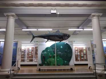 The bluefin tuna hanging from the ceiling of the Zoology Museum is real! It was captured in 1829 in the Clyde estuary and bought from the Glasgow fish market to be part of the Zoology exhibition. Photo: M. Quaggiotto, 2018